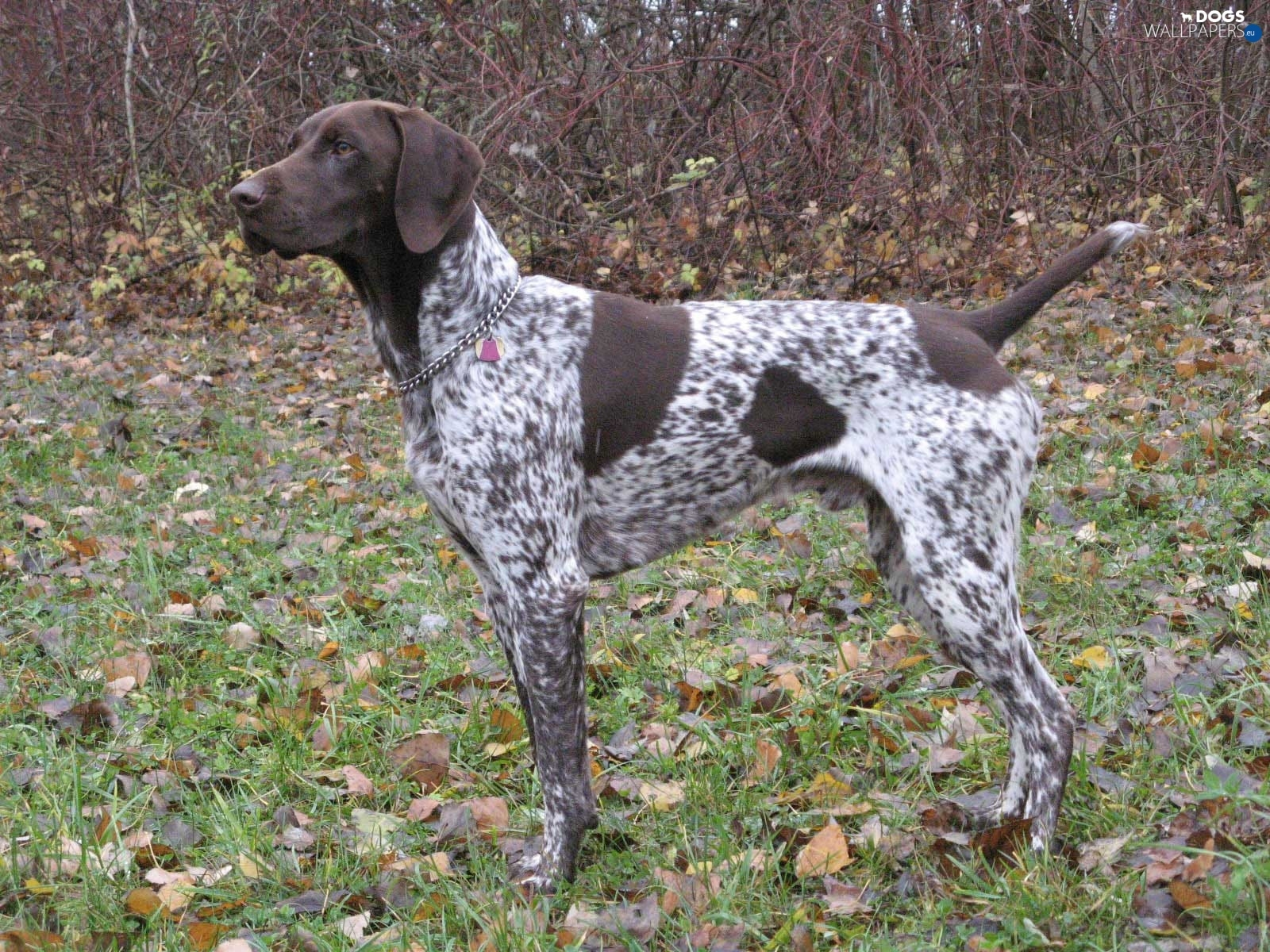 autumn, German Shorthaired Pointer - Dogs wallpapers: 1600x1200 German Wirehaired Pointer Training Videos