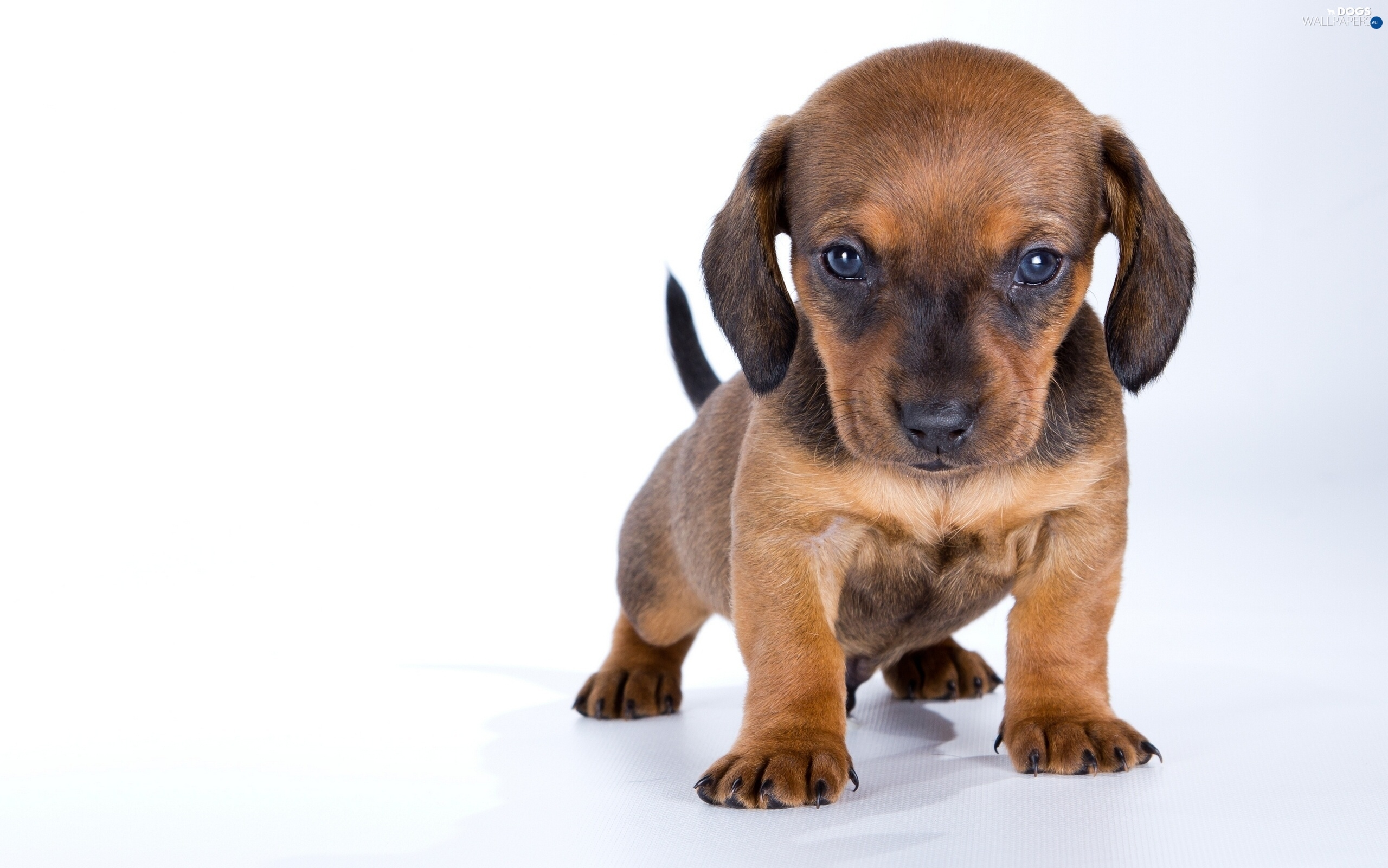 Dachshund Puppy  Dogs Wallpapers 2560x1601