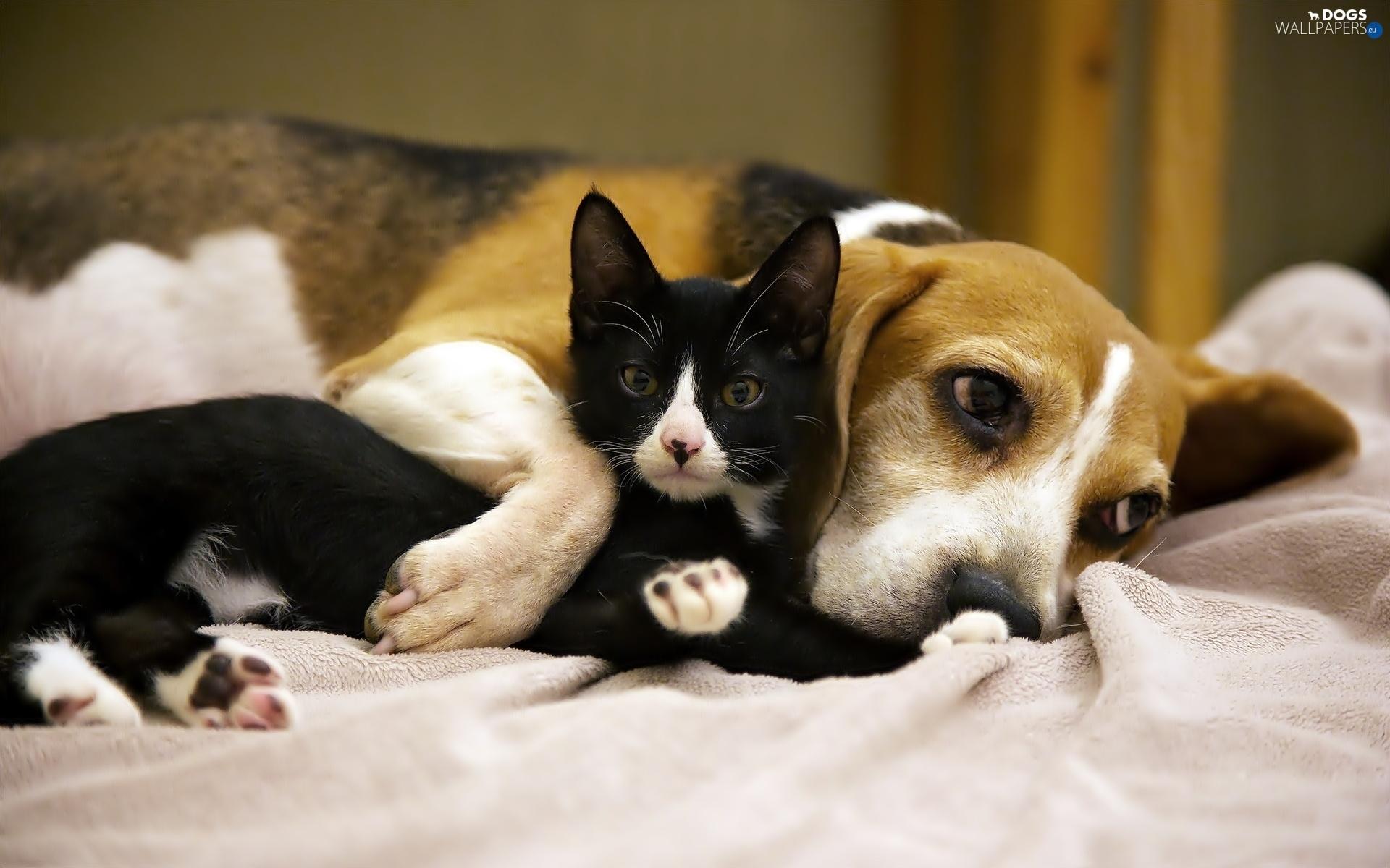 friends, dog, Black, Beagle, kitten - Dogs wallpapers: 1920x1200