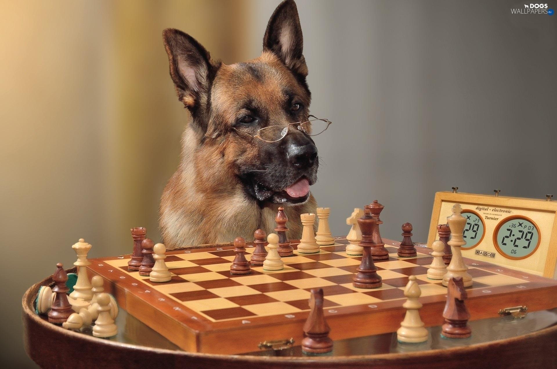 funny  chess  sheep-dog  german