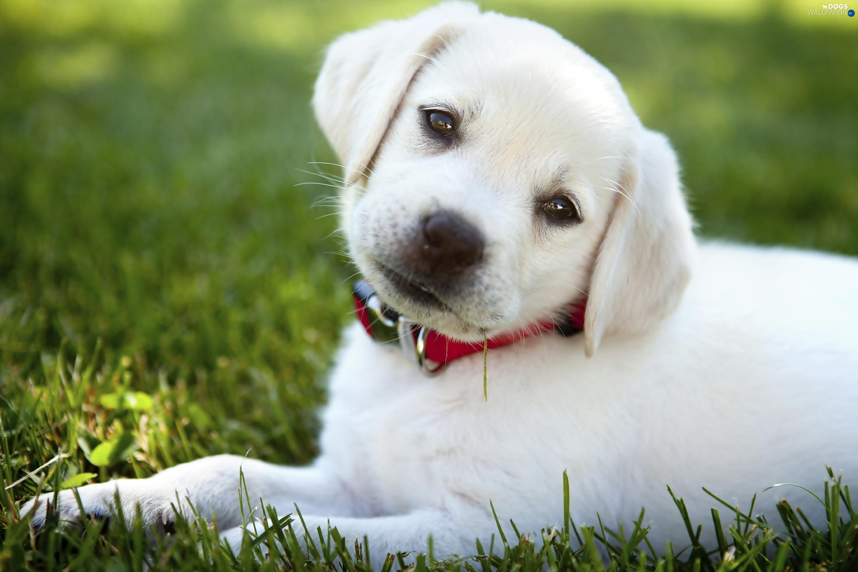 White Large Dog Collar