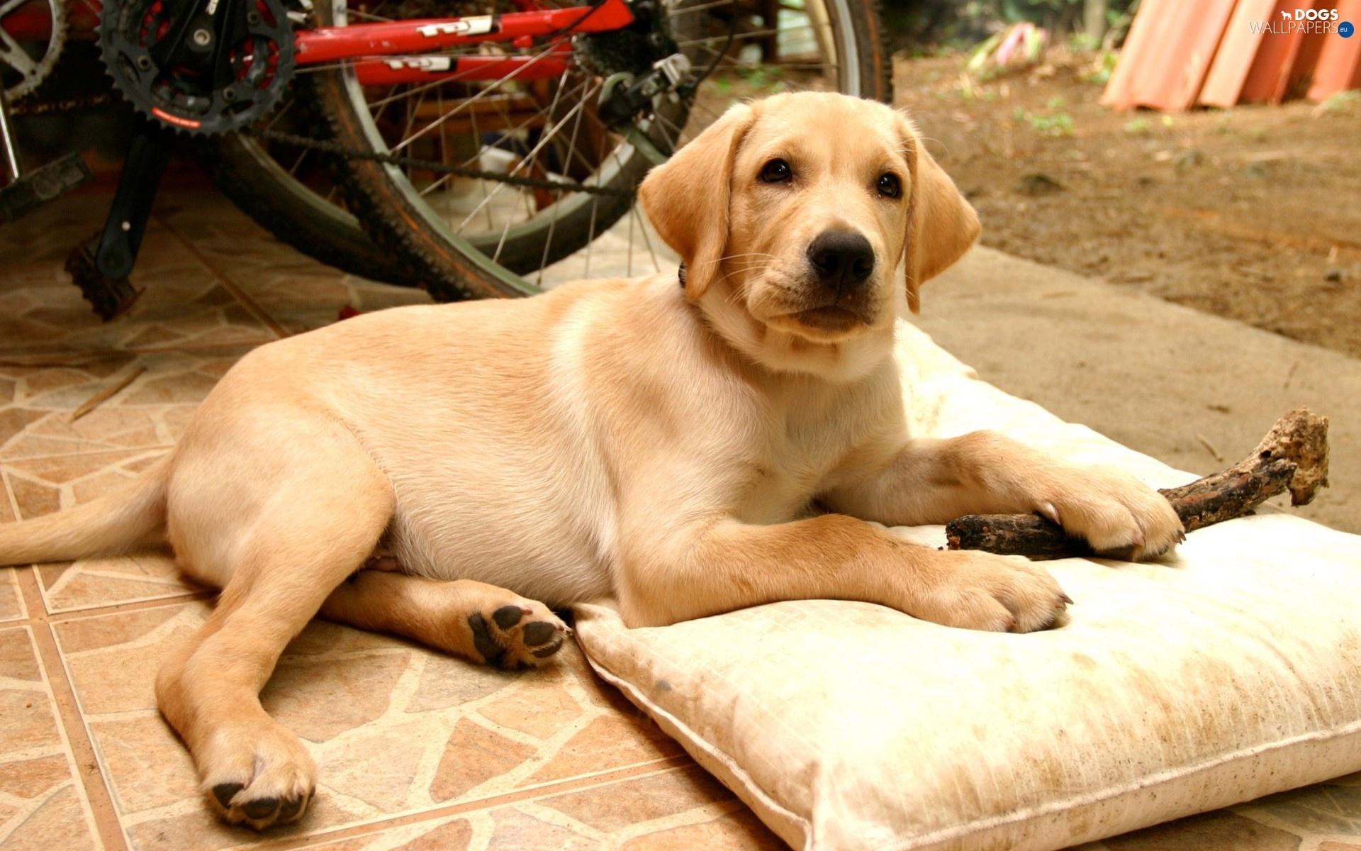 beige, Labrador, Beatyfull - Dogs wallpapers: 1920x1200