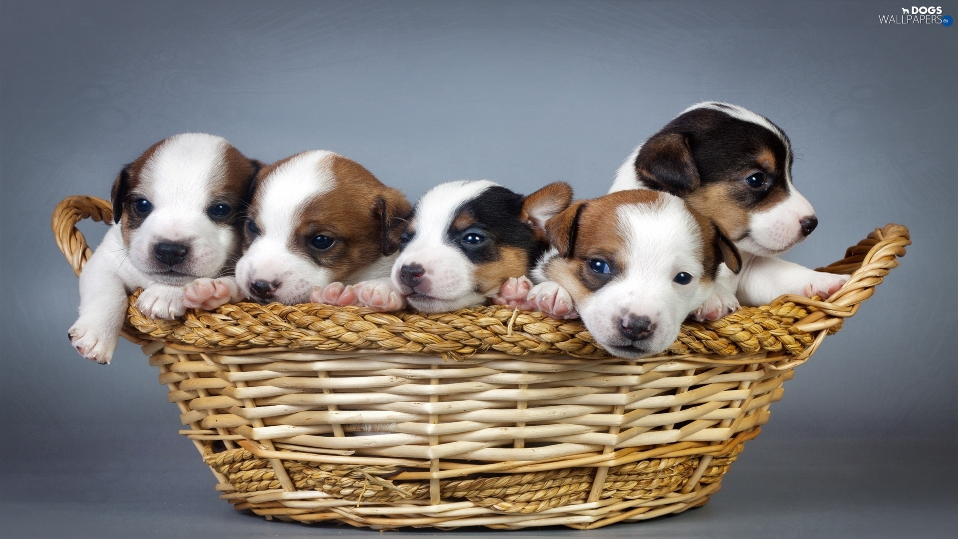 lovely animals basket puppies basket dogs wallpapers