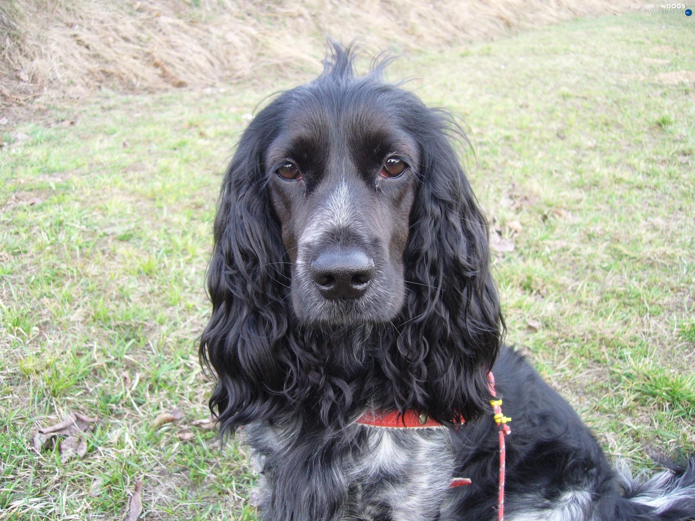 Irish Setter Dog Black
