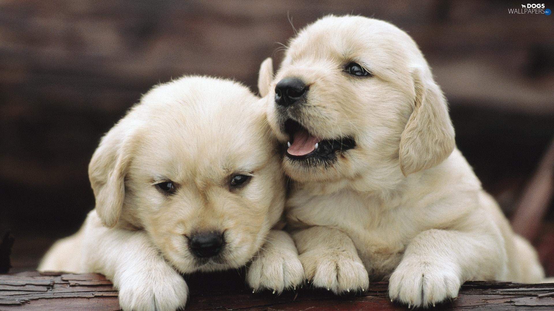 Golden <b>Retriever puppy</b> [5] <b>wallpaper</b> - Animal <b>wallpapers</b> - #31857
