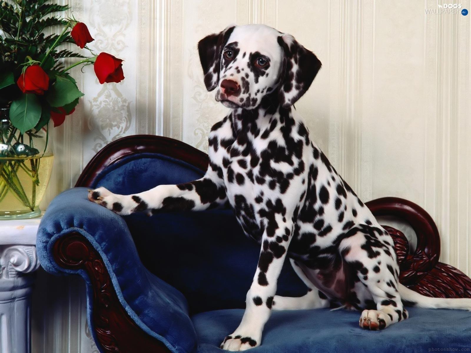 Resultado de imagen para dalmatian sofa