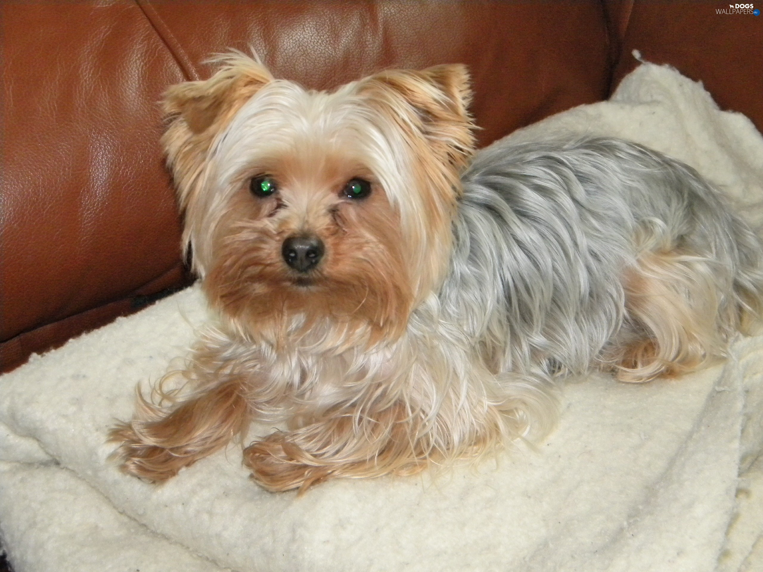 Sofa Yorkshire Terrier Dogs Wallpapers 2560x1920