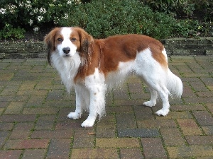 Alpine Dutch, Kooikerhondje, white and red