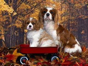 Golden automobile, Cavalier King Charles spaniel
