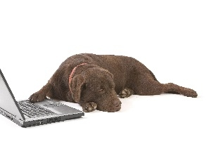 Labrador, laptop, Brown