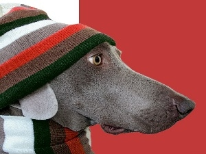Hat, Scarf, dog