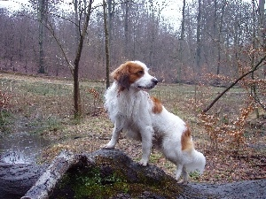 water, forest, Alpine Dutch, Kooikerhondje