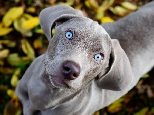Weimaraner, Eyes, dog, Blue