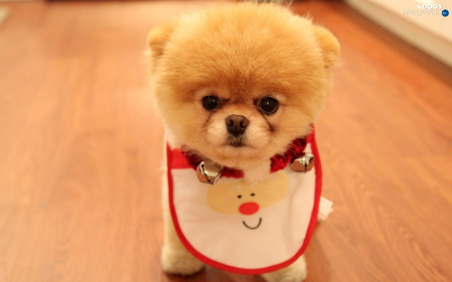 bib, Pomeranian, honeyed, doggy