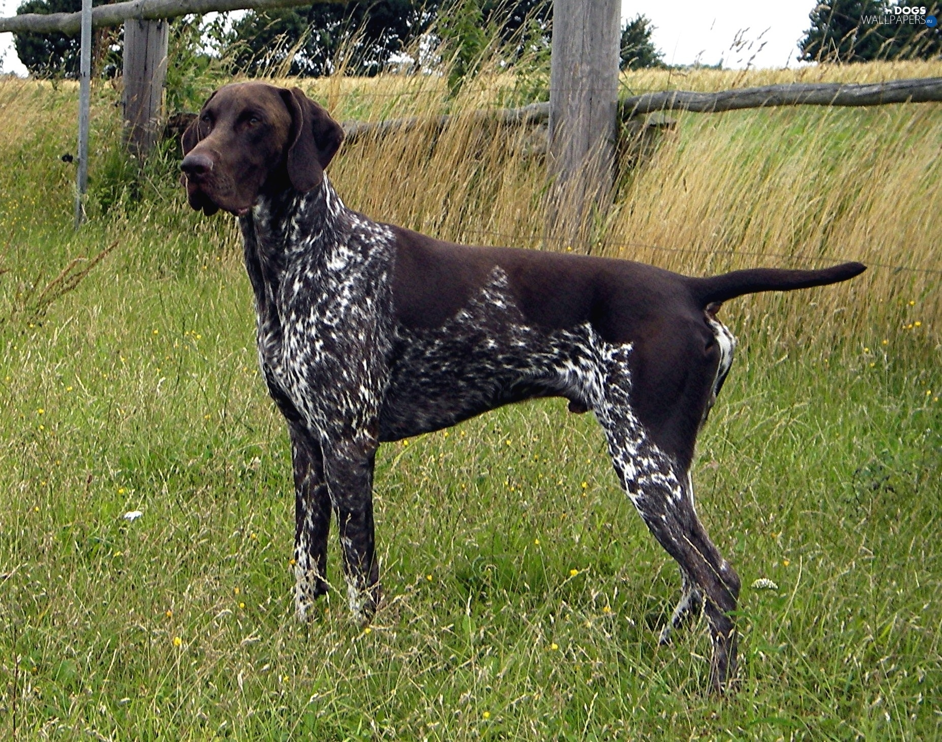 Gsp Hunting Dogs For Sale