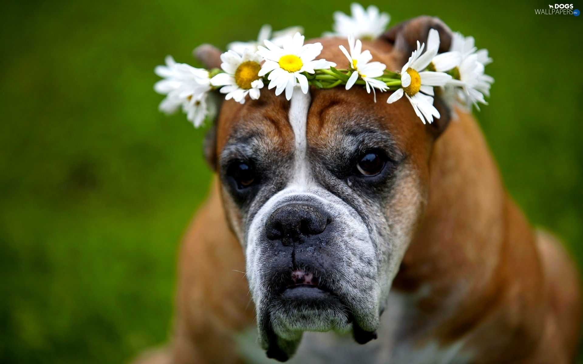 chamomile, Flowers, boxer, wreath