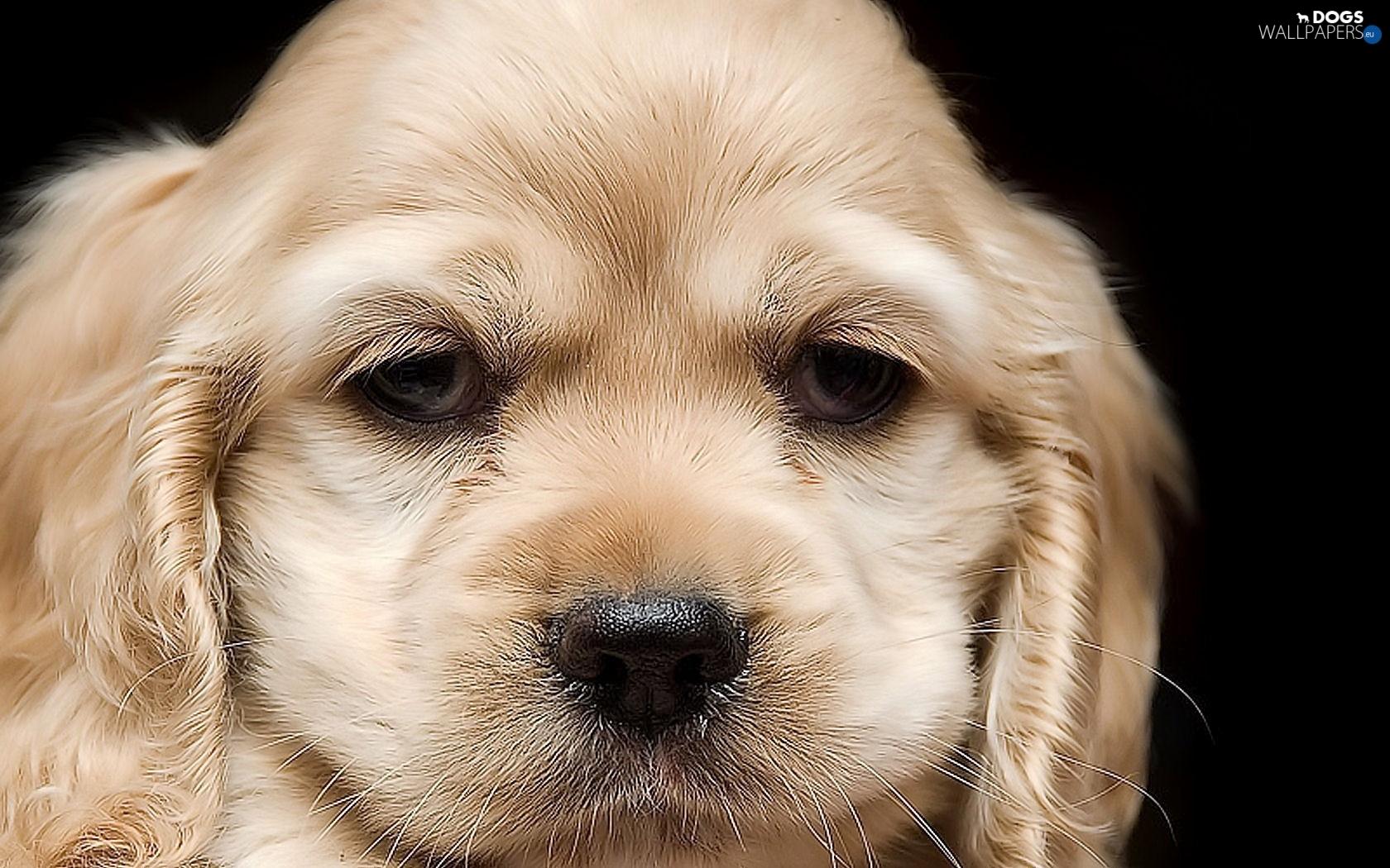 Dog cocker spaniel muzzle dogs wallpapers 1680x1050 - Free cocker spaniel screensavers ...