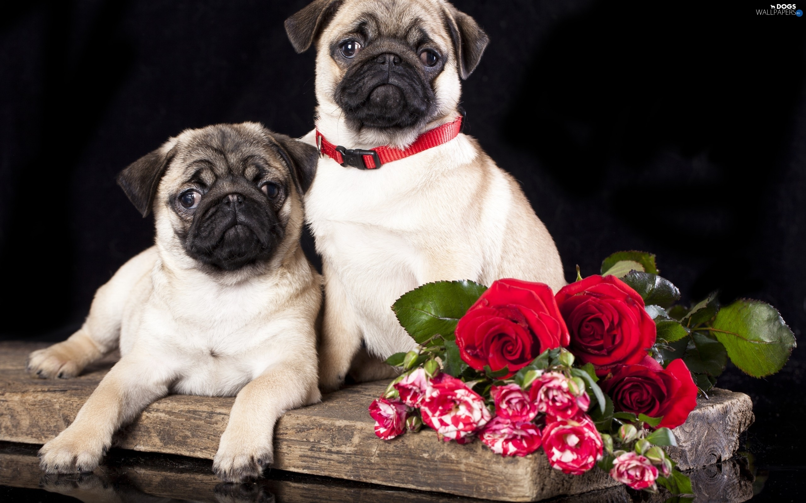 Flowers, pugs, Dogs, puppies