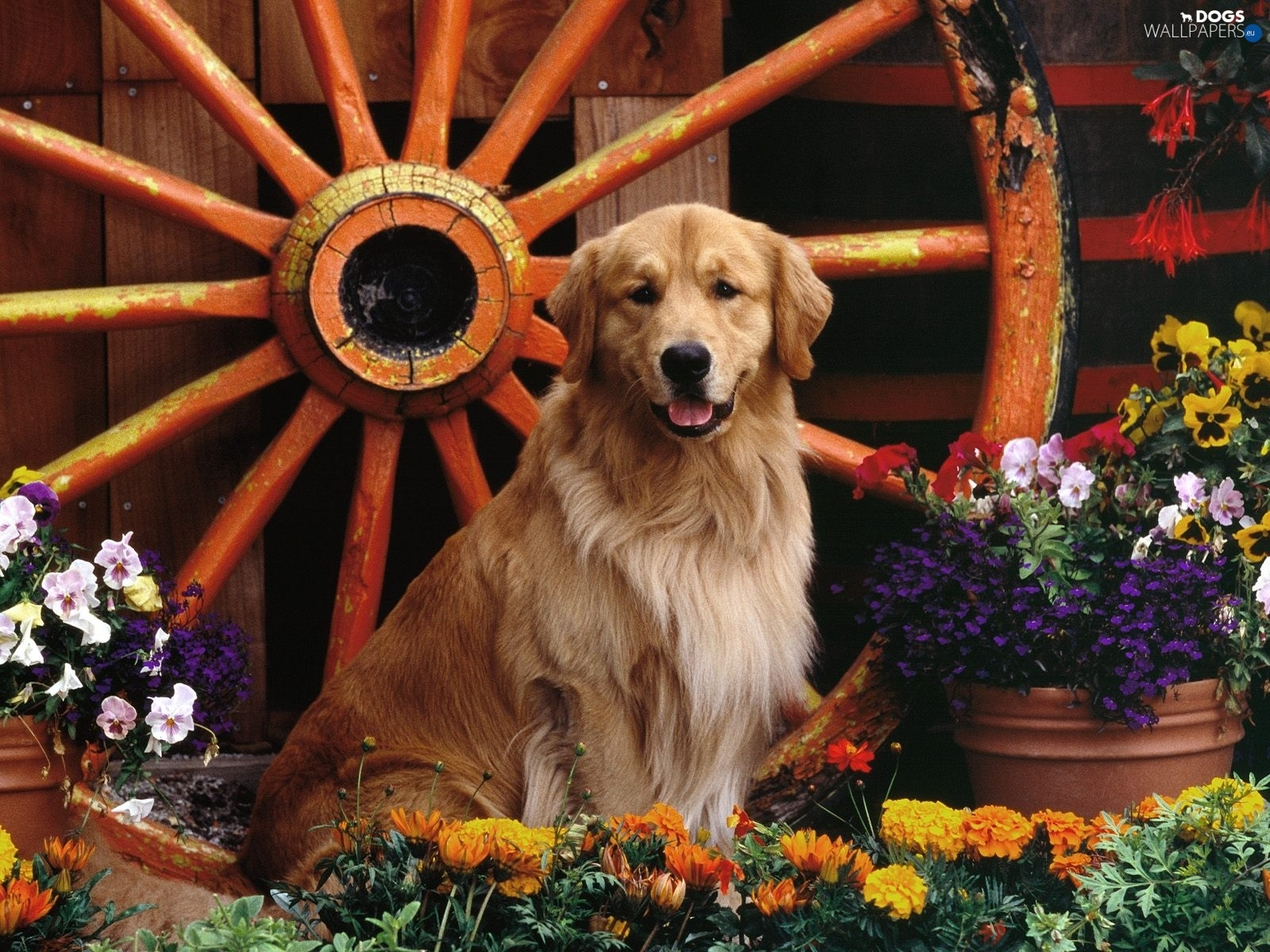 Golden Retriever, Flowers, dog, circle
