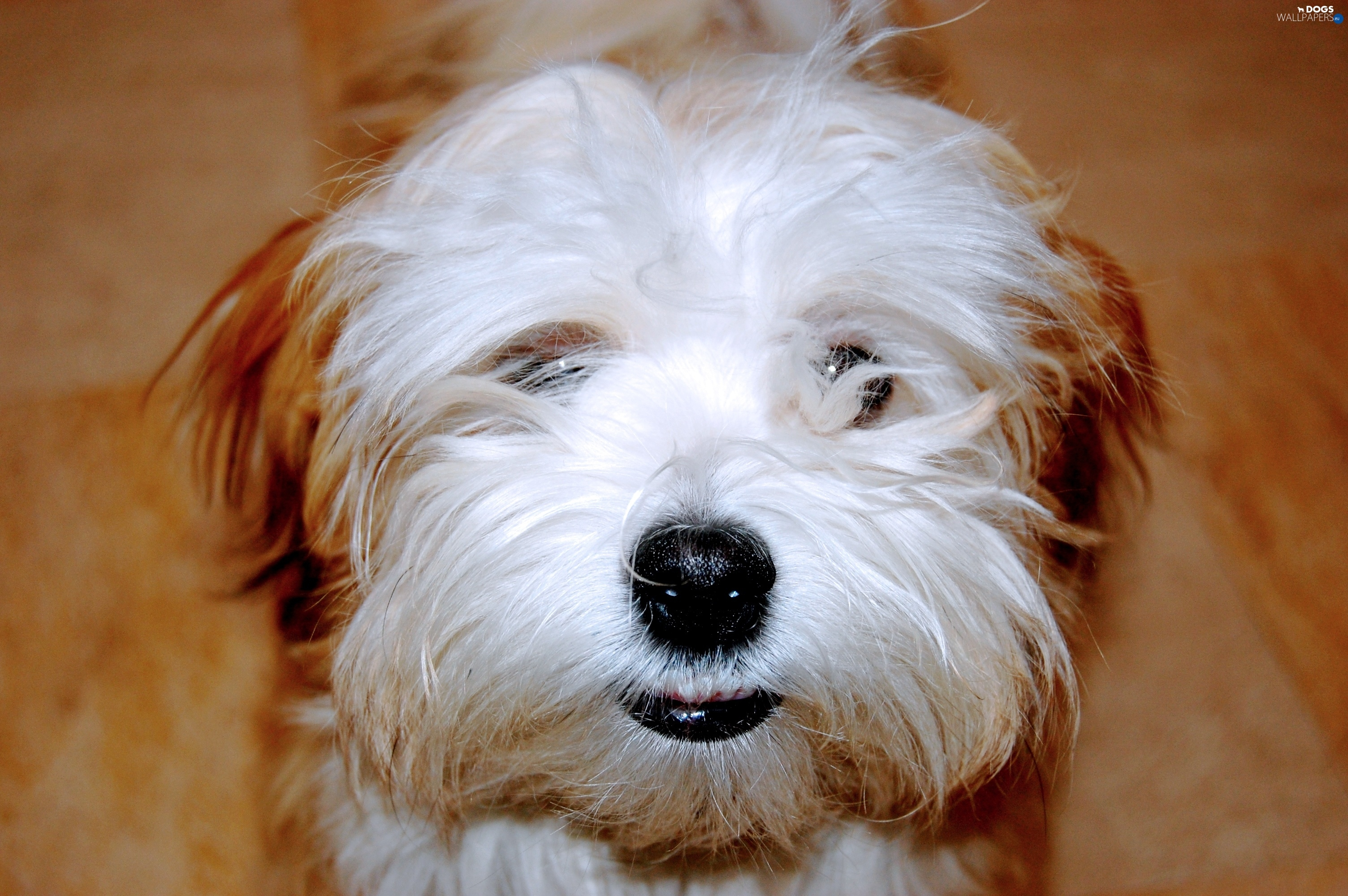 Havanese, mouth