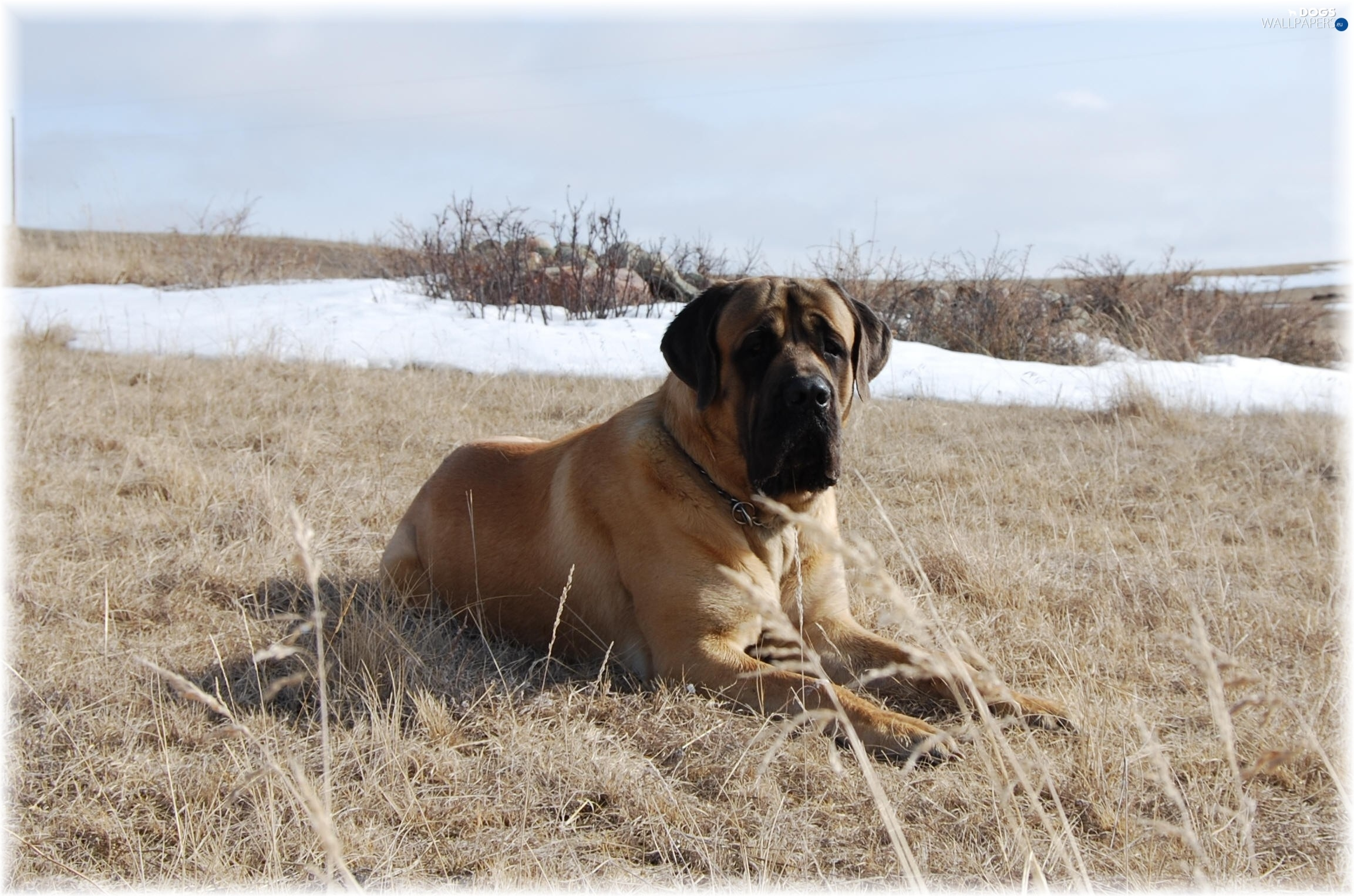 Mastiff, Meadow, English mastiff