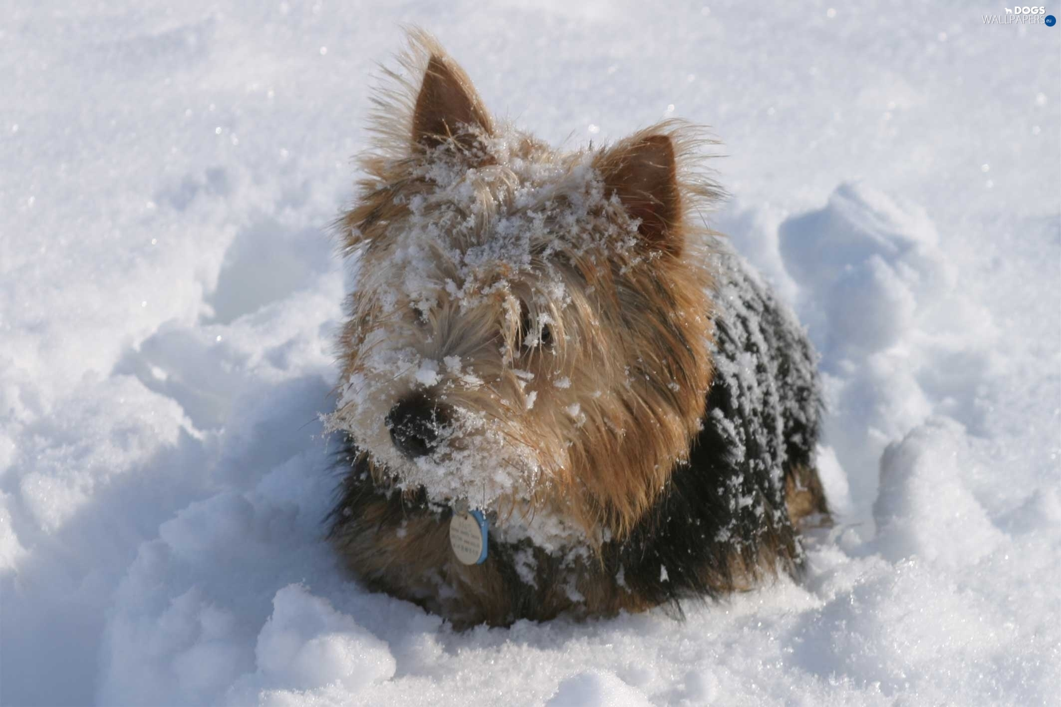 snow, Norwich terrier