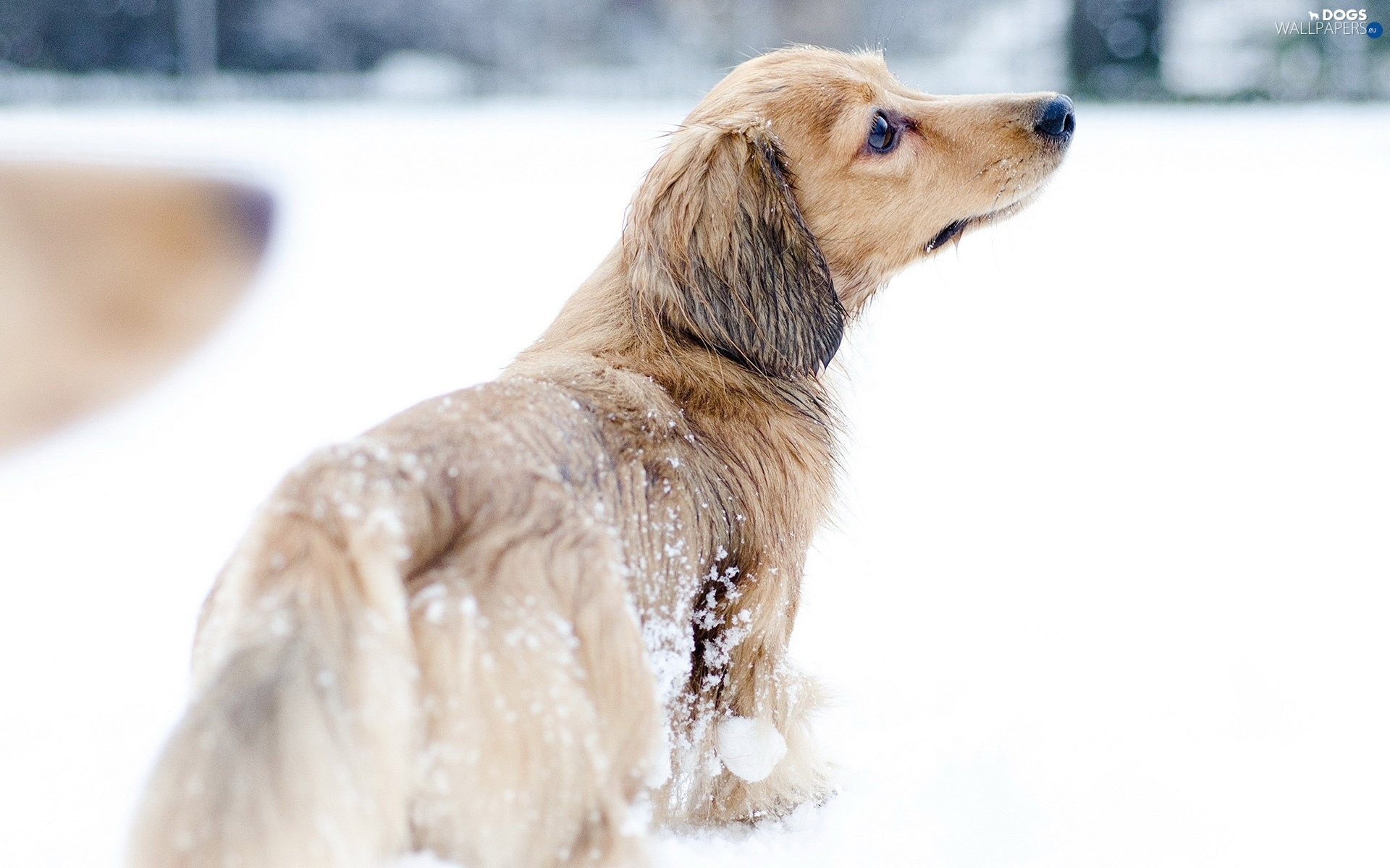snow, winter, dachshund, Longhaired - Dogs wallpapers: 1920x1200