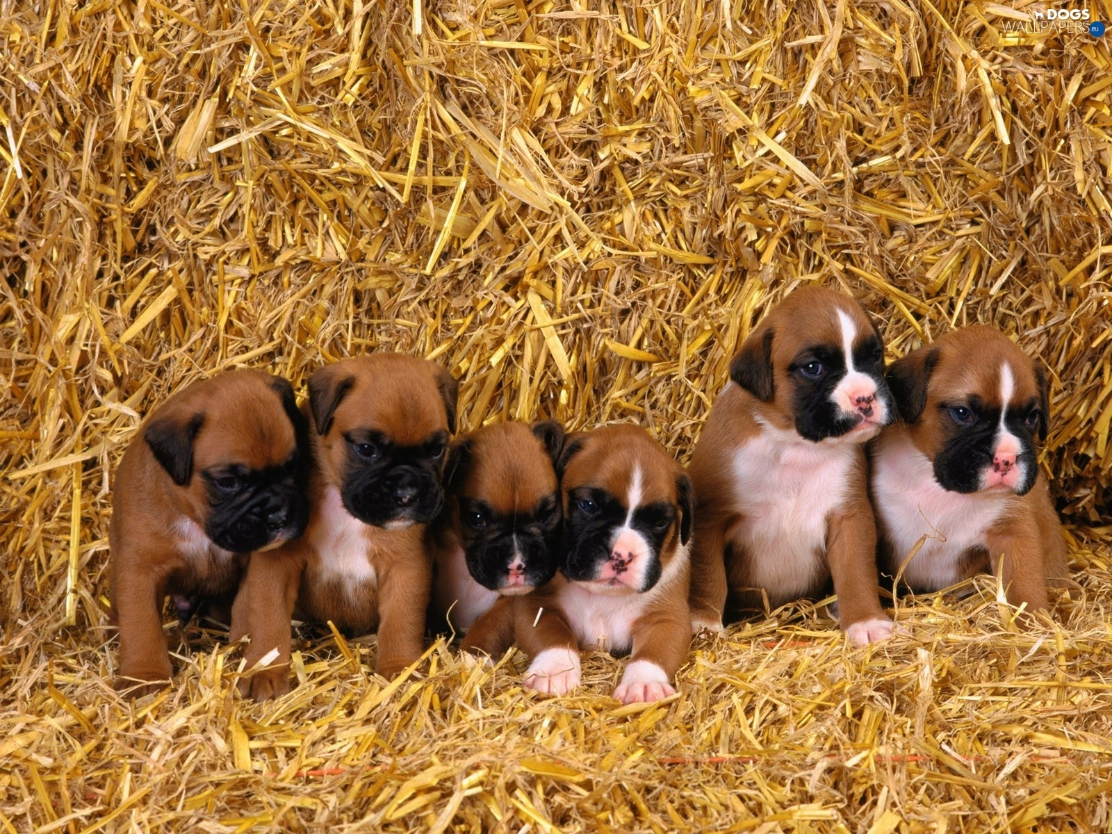 straw, boxers, young, puppies