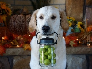 Leaf, apples, jar, Puppy, Autumn, golden, retriever