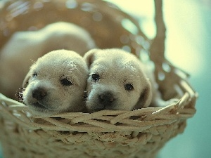 ##, basket, puppies