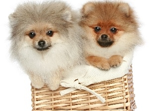 basket, Pomeranian, Dogs