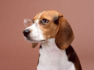 Beagle, Glasses
