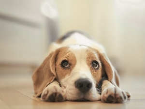 Puppy, Beagle, dog