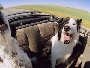 Border Collie, Cabriolet, Dogs