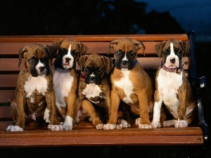 Bench, boxers, five, puppies