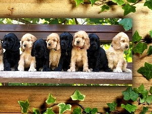 Spaniels, Bench, Puppies