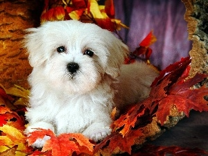 Bichon frise, Leaf, doggy