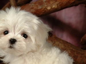 Bichon frise, doggy, small, White