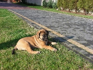 brick, English mastiff, honeyed, paving, Puppy