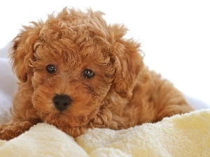 Bichon frise, brown, Puppy, Ointments
