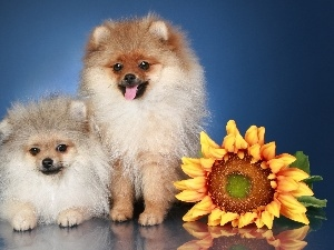 Pomeranian, puppies