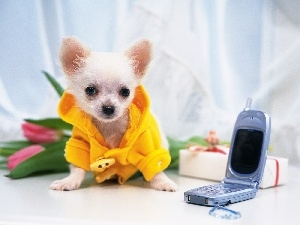 Chihuahua, cellular, Puppy, Telephone