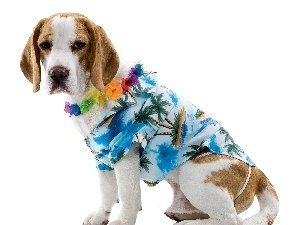clothes, Beagle