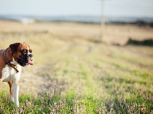 dog-collar, Tounge, dog, grass, boxer