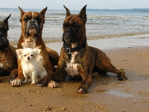 doggy, small, Three, boxers