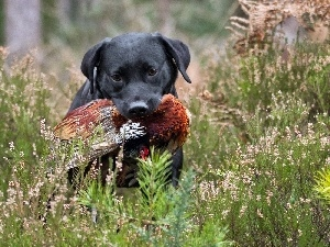 dry, Labrador, Black, grass, dog