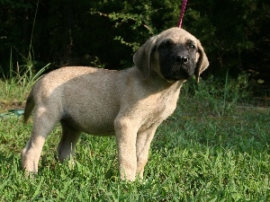 English mastiff, Mastiff, young
