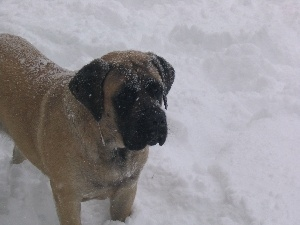English mastiff, snow, mouth