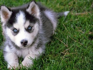 Eyes, Blue, Siberian Husky, Puppy