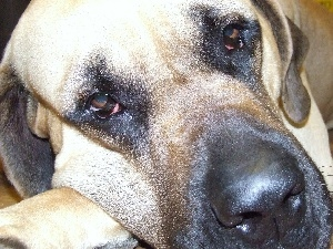 Eyes, English mastiff, sad